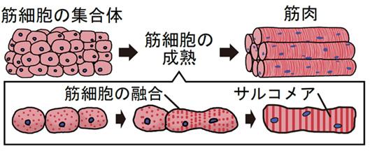図1 筋細胞の成熟過程