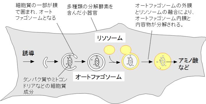 図1 オートファジーの仕組み