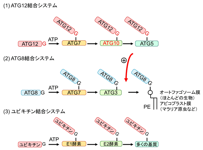 図2 共有結合によるたんぱく質同士の結合システムの例(ATG12結合システム、ATG8結合システムおよびユビキチン結合システム)