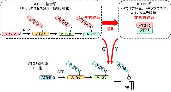 図3 ATG12結合の共有結合から非共有結合への進化