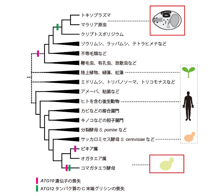 図4 主要な真核生物におけるATG12結合システムの進化の概略