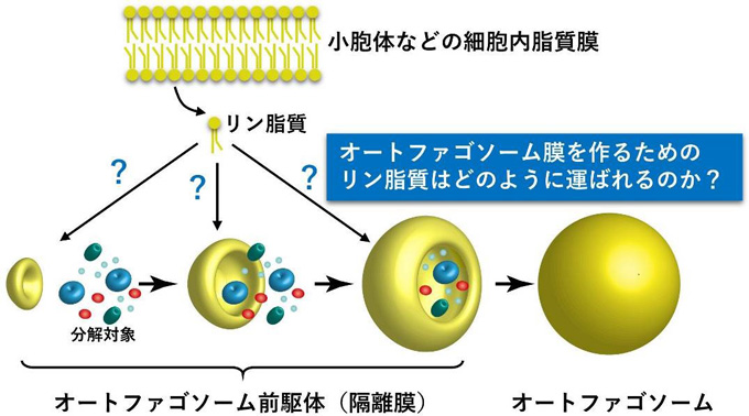 図1 オートファゴソーム形成過程の模式図