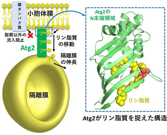 図2 Atg2による小胞体から隔離膜へのリン脂質の供給モデル