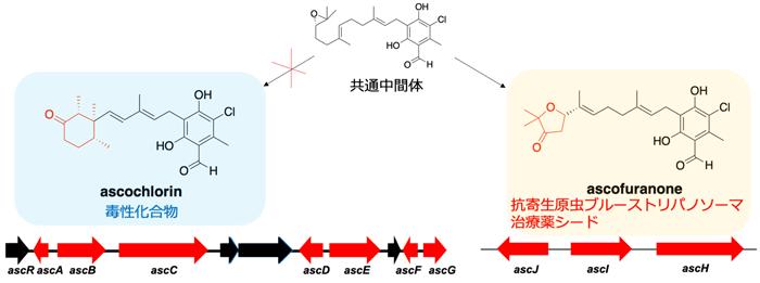 図 アスコクロリン、アスコフラノン生合成経路の制御による薬用活性物質高生産系の創出