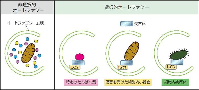 図2 非選択的オートファジーと選択的オートファジー