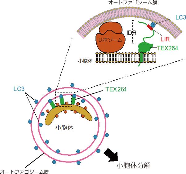 図4 小胞体オートファジーの新規受容体TEX264
