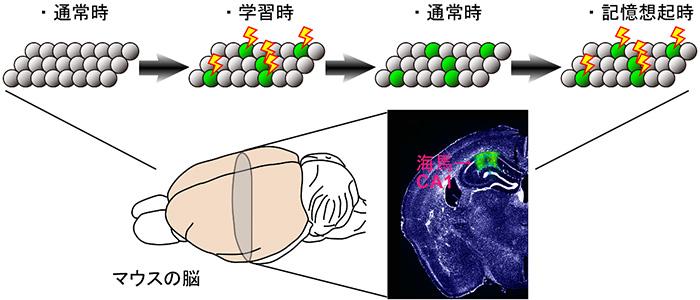 図1 記憶痕跡細胞の活動と記憶の関係