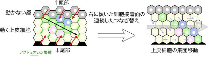 図1 右に傾いた細胞接着面のつなぎ替えが連続しておこることで、細胞を同一方向に集団移動させるメカニズムの模式図(Sato et al., Nat Comm 2015より図を改変)