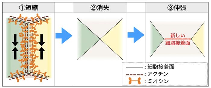 図2 細胞接着面のつなぎ替え(模式図)