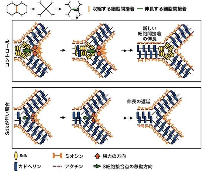図4 Sdkによって新しい細胞間接着がスムーズに伸長する仕組み