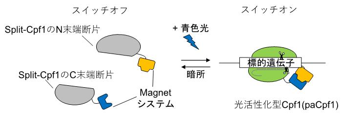 図1 本研究で開発した光活性化型Cpf1(paCpf1)の模式図
