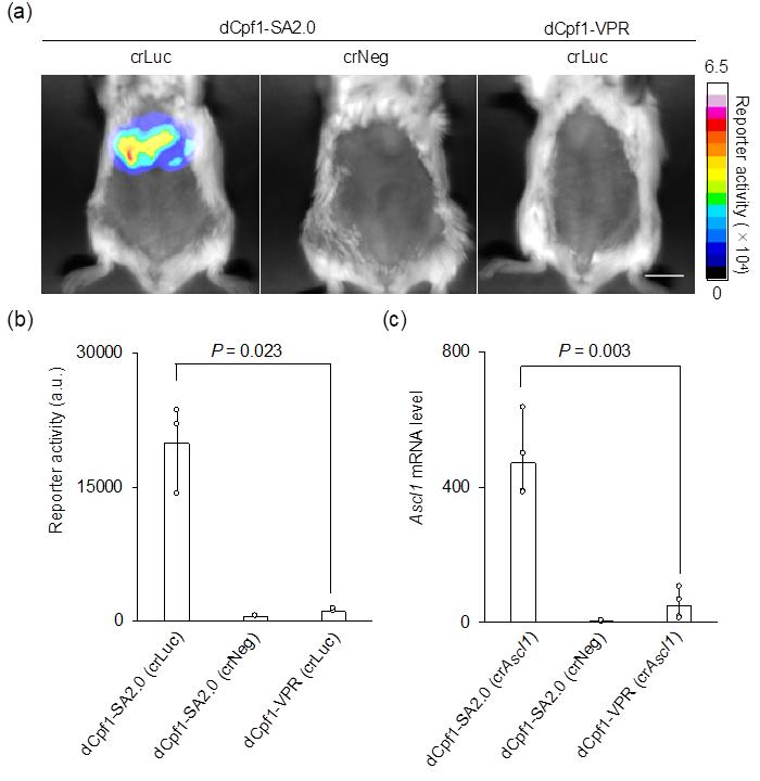 図3 マウスの肝臓におけるルシフェラーゼレポーターの応答