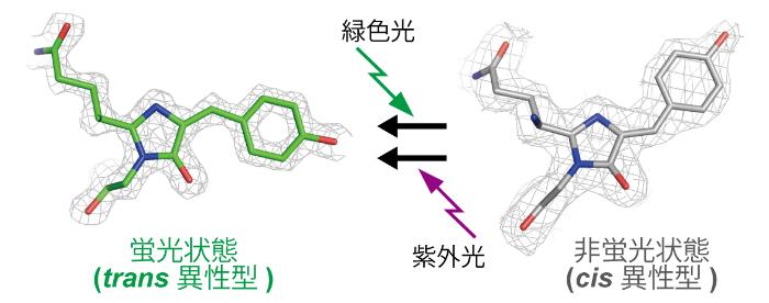 図1 Gamillus、rsGamillusの光スイッチの分子メカニズム