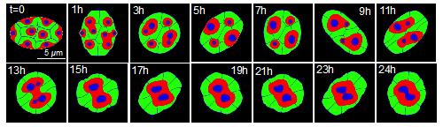 細胞核の動的変形が核構造の再編成を引き起こすことを世界で初めて発見