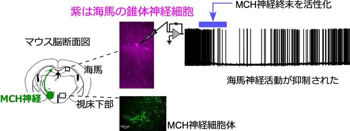 図1 視床下部のMCH神経と海馬における神経活動の抑制