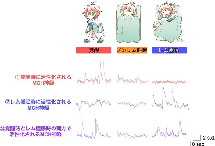 図2 睡眠覚醒状態の変化に伴うMCH神経活動の変化