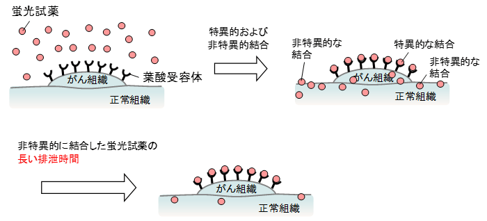 図1 既存の葉酸受容体を検出する蛍光試薬