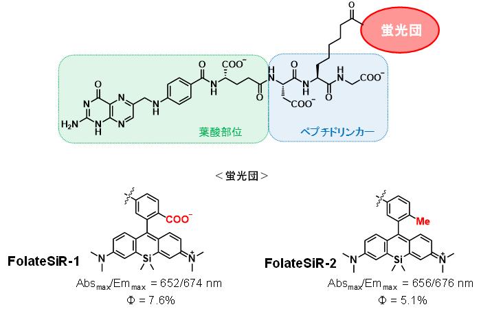 図2 新たに開発した葉酸受容体を発現している細胞を検出する蛍光プローブ
