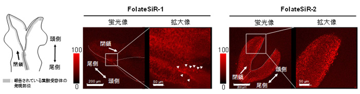 図4 開発した蛍光試薬のマウス胚への応用