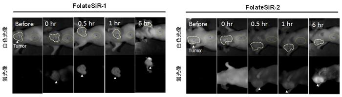 図5 開発した蛍光試薬の皮下担がんモデルマウスへの応用