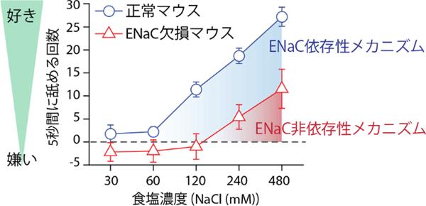 図4 ENaC欠損マウスの塩味に対する嗜好性行動試験
